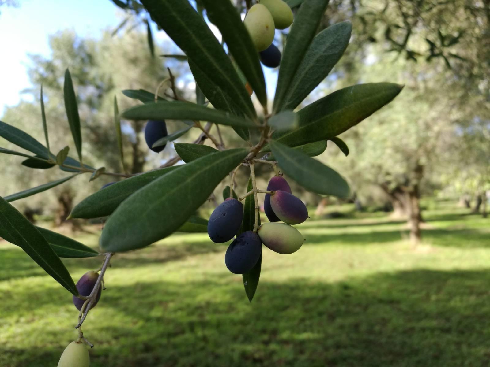olive-ulivi